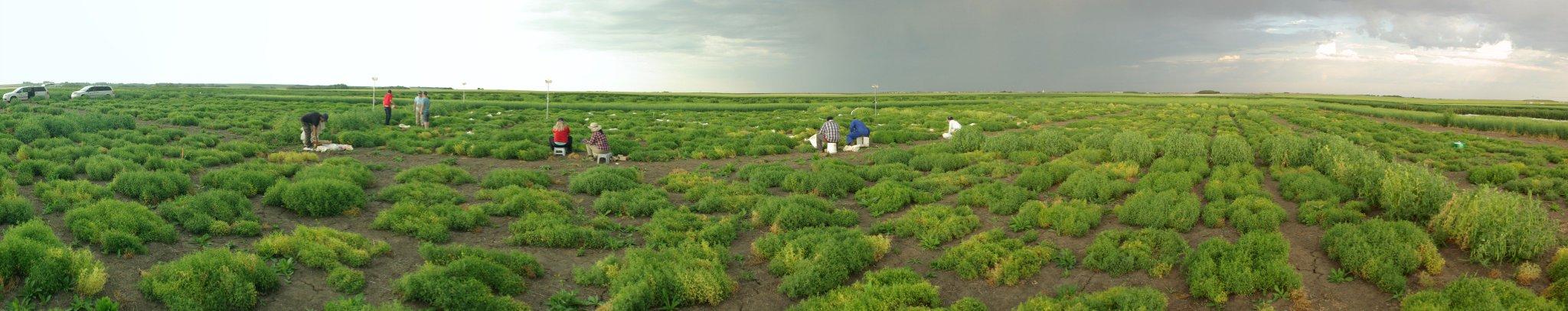 Saskatchewan Harvest 2017 Panoramic of AGILE plot